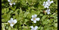 Bacopa Nootropic